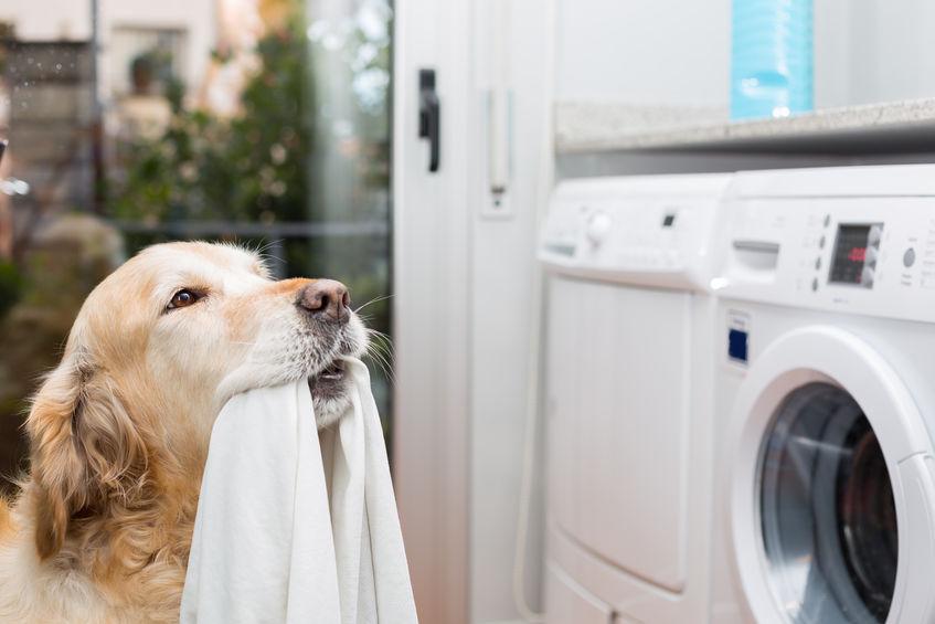 25759223 - golden retriever dog doing laundry at home